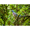 wood pigeon tree wild bird carlsbirdclub