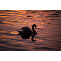 Animals Wildlife Swan Sunset Ireland silhouettefriday