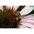Purple Coneflower with a honey Bee