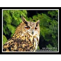 Nature Wildlife Birds of Prey Owl European Eagle Owl Spideyj