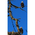 Taken 3/9/2013, Bald Eagles, Cropped and re-sized out of the previous image, near Curtis, WA. Onc...