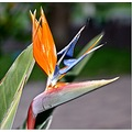 strelitzia flower orange saphira spring