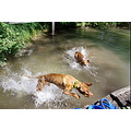 animal animals dog dogs MagyarVizsla Vizsla Anuschka Alvaro Watergames