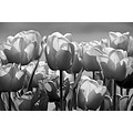 tulips black white