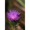 Reifel Sanctuary Delta BC Canada flowers thistle hoverfly