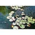 water lillies pond garden