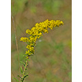 goldenrod wildflower week