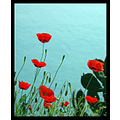 trikeri sea red flower greece springbook