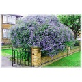 Ceanothus it has really taken over the gate