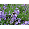 lavender bumble bee