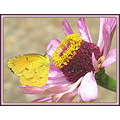 The flower: Zinnia, The Butterfly: Cloudless Giant Sulfur (male).  Both the flower and the butter...