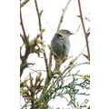 bird dunnock hedge sparrow