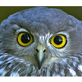 barking owl bird feathers nature wildlife