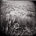 holga black white landscape mountain dead nature flower grass