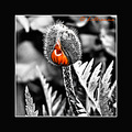 papaver bud orange