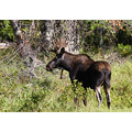 bull moose nature canada wildlife