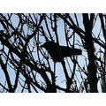 tree branches crow katwijk jeever jolie bird