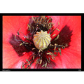 Nature Macro Flower Poppy