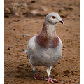 racing pigeon bird pet Carlsbirdclub