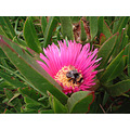 Bumble Bee in Iceplant (Whether it's native or South African, I am not certain).