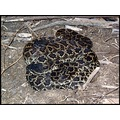 Adult pair of SoPac rattlesnakes. These two live under a board right next to a major roadway in S...
