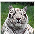 White Tiger.