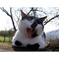 cat yawning animal