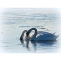 nature lake winter swans