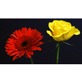flower duet red daisy yellow rose flowers
