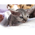 devon rex cat kitten mother son