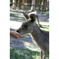 Wallaby Australia Zoo Queensland