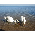 swans birds lake