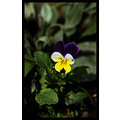 nature flower little violet yellow white closeup