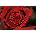 stlouis missouri us usa plant flower macro rose red 2006