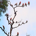 birds australia galah pink and grey tree autumn morning littleollie