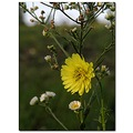 falsedandelion fleabane wildflowers nature