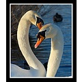 love together swans nature muteswans swan bird birds carlsbirdclub somerset