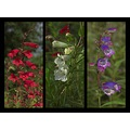 garden flower plant penstemon