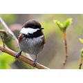 chickadee Burnaby BC Canada chestnutbacked bird
