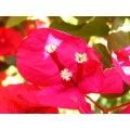 challenge14 bougainvillea red tiny flower redfph