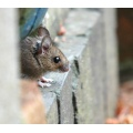 timid field mouse