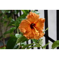 Hibiscus in flower pot
