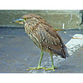 Juvenile Black-crowned Night Heron in a grocery store parking lot, August 9, 2008