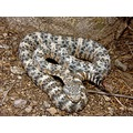 Young male Speckled Rattlesnake