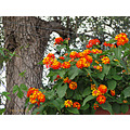 orange yellow flowers lantana home garden Alora Andalucia Spain