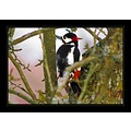 animals birds spotted woodpecker