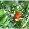 roma tomato ripe The WELL cooking gardening harvest