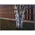 Birch Trees Bricks Wall