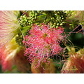 silktree mimosa andalucia home spain