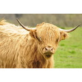 highland cattle cow scotland